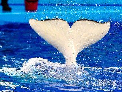 Վլադիվոստոկում ատամնավոր կետ է սատկել