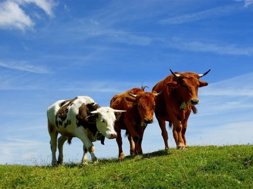 «ՀԺ». Ինչպես են մեծ քանակի կովերն արտահանվում. միսը կրկին կթանկանա՞