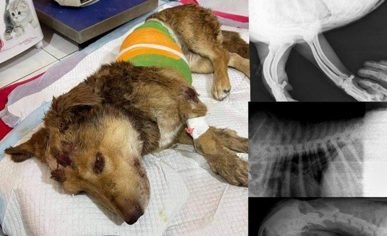 ՖՈՏՈ. Հրազդանում խոշտանգված շան ապրելու հույսը գնալով մեծանում է