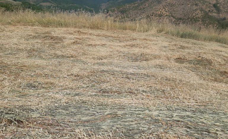 Այսպիսի ցավալի իրավիճակում է գտնվում Շիկահողի ցորենի դաշտերի մեծ մասը. գյուղապետը լուսանկարներ է հրապարակել